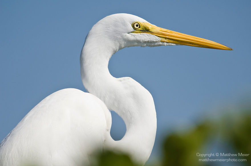 Captiva Island, Florida; Great egret (Ardea alba) sits at the water's edge on a mangrove plant © Matthew Meier Photography, matthewmeierphoto.com All Rights Reserved