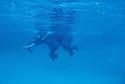 Rojan elephant swim in open sea