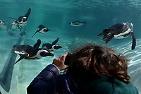 A boy take pictures take pictures to the penguins through a porthole.<br /> Nine pairs of African Penguins, also known as the jackass penguin and black-footed penguin, were welcomed by Rome's biopark. <br /> Roma 27-12-2018 Bioparco <br /> Foto Andrea Staccioli / Insidefoto