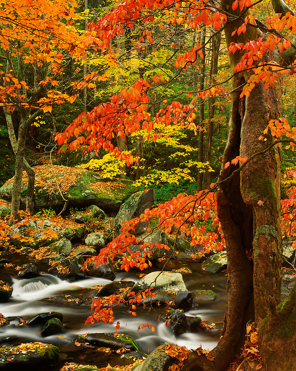 Fall color along the Middle Prong of the Little River; Great Smoky Mountains National Park, TN