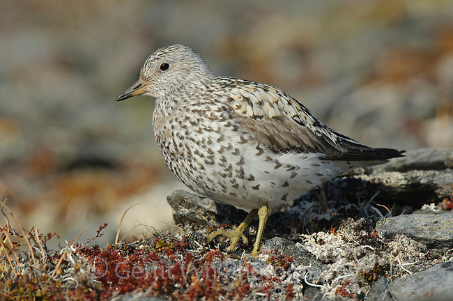Adult Surfbird (Aphriza virgata) in breeding plumage on its alpine breeding grounds. Seward Peninsula, Alaska. June.