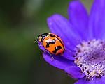 Ladybug on flower at Mt Tomah Botanical Gardens, Blue Mountains, Sydney, NSW, Australia