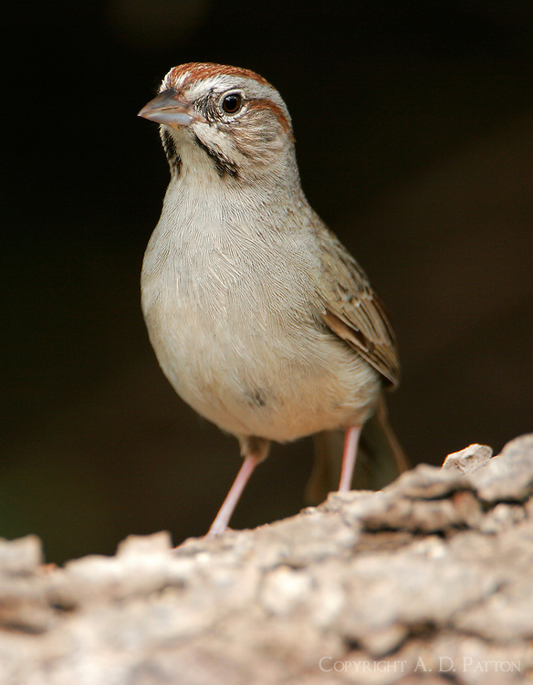 Rufous-crowned sparrow adult frontal view