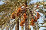 Fruit bunches of the date palm tree, Villajoyosa city, Costa Blanca, Alicante province,Spain