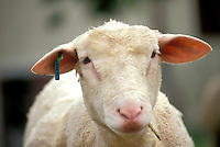White Swiss sheep close up face on eye contact, Switzerland