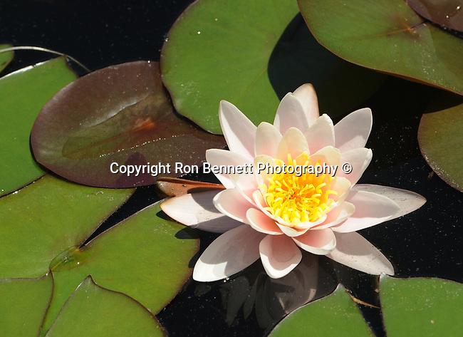 Pink water lilies pool Nympheas flowering aquatic plant, Dicotyledoneae, Archichlamydeae, flowering plants bear petals separately, Ranales, petals on the stem, tropical water lilies, Lotus, Nelumbo, Water lily family, Hardies,