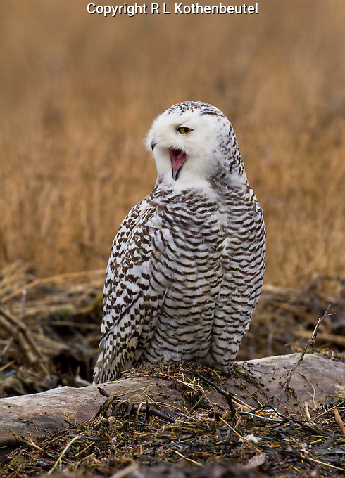 Snowy owl perched on a driftwood log and yawning with mouth wide open.<br />