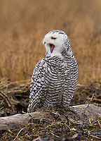 Snowy owl perched on a driftwood log and yawning with mouth wide open.<br /> Boundary Bay, Ladner, British Columbia, Canada<br /> 12/3/2011