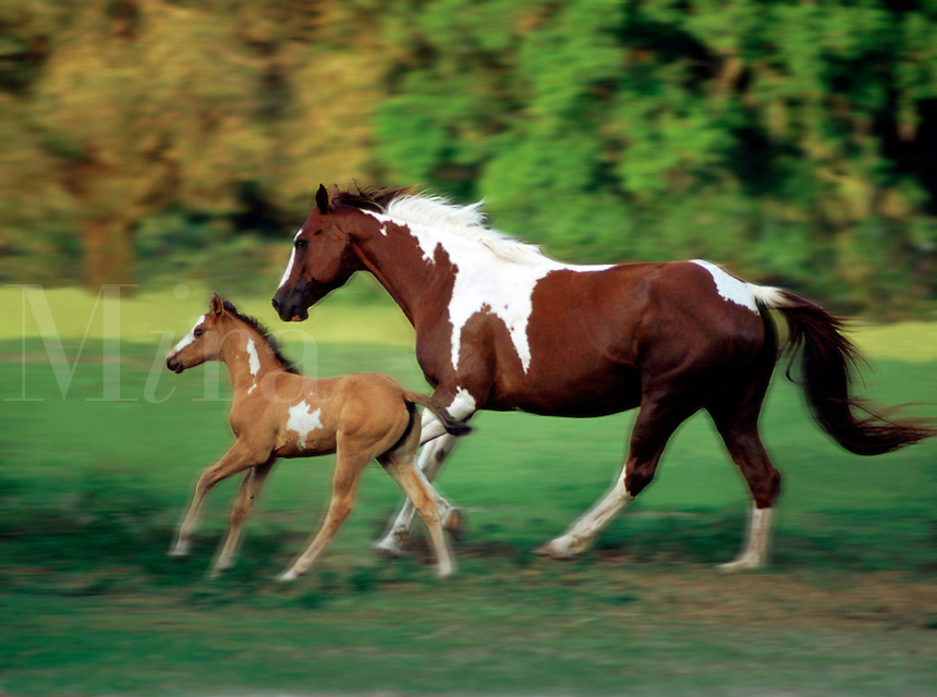 Paint Horse mare and foal gallop across paddock.