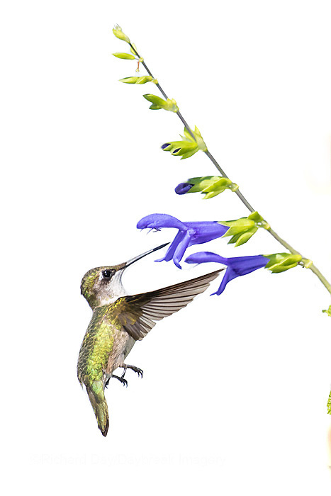 30000-00101 Ruby-throated Hummingbird (Archilochus colubris) on Blue Ensign Salvia (Salvia guaranitica 'Blue Ensign') on white background,  Marion Co., IL