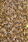 Close up Honey Bee, Swarming, Apis mellifera, Kent UK, spring, a natural means of reproduction of honey bee colonies. A new honey bee colony is formed when the queen bee leaves the colony with a large group of worker bees.  In the prime swarm, about 60% of the worker bees leave the original hive location with the old queen. This swarm can contain thousands to tens of thousands of bees.
