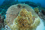Hard coral bleaching in progress, Komodo National Park, Nusa Tenggara, Indonesia, Pacific Ocean