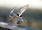 Forster's Terns (Sterna forsteri), courting pair, one landing next to the other which is holding fish, Bolsa Chica Ecological Reserve, California, USA