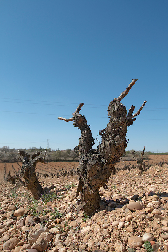 tempranillo old vine gobelet training sandy gravelly soil bodegas frutos villar , cigales spain castile and leon