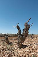 tempranillo old vine gobelet training sandy gravelly soil bodegas frutos villar , cigales spain castile and leon