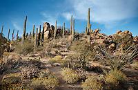 Saguaro National Park in Tucson, Arizona, Tuesday, April 20, 2010. ..PHOTO/ MATT NAGER