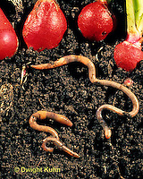 1Y01-163z  Earthworms tunneling under garden radishes