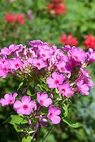Phlox paniculata Flame Pink, dwarf variety of garden phlox, Bartwelve