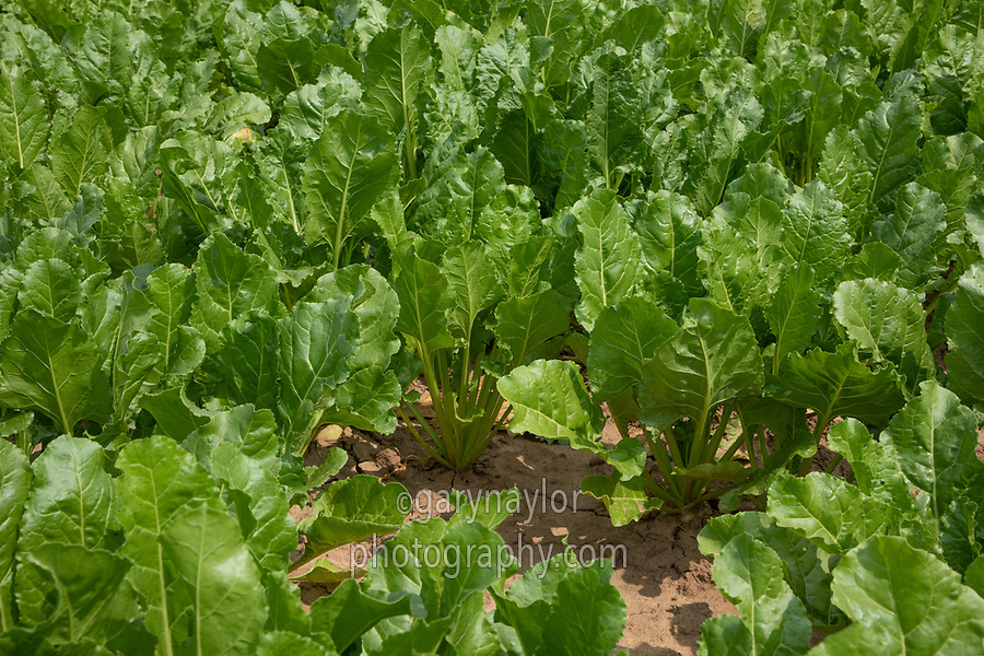 Sugar beet - Lincolnshire, July