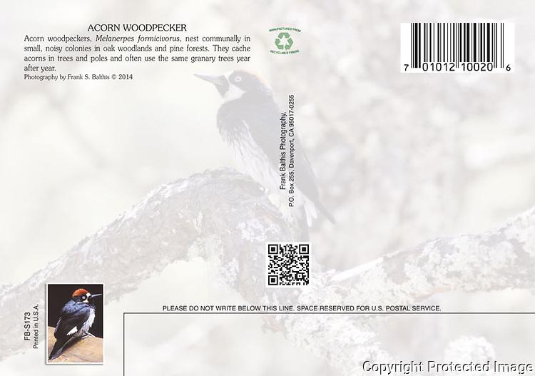 FB S173 Acorn Woodpecker 4x6 Postcard Back
