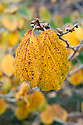 Yellow autumn foliage of witch hazel (Hamamelis x intermedia (Japonica x mollis) 'Pallida'), mid October.
