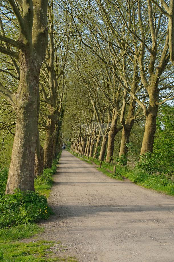 Gewone plataan (Platanus  acerifolia), laan te Haanwijk