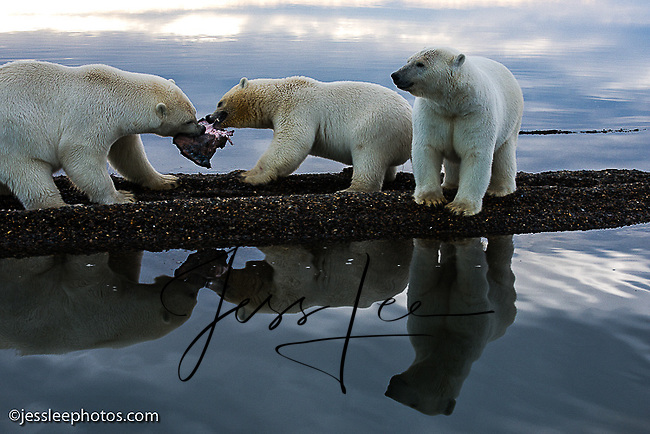 Polar bears fight over food  the shore of the Beaufort Sea in Alaska