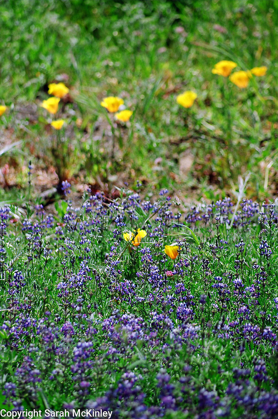 Lupine and California Poppies near Redwood Valley in Mendocino County in Northern California.