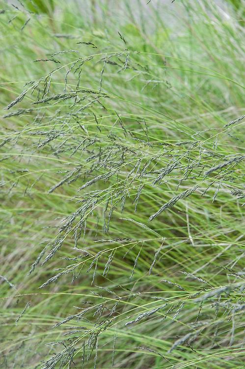 African love grass (Eragrostis curvula), mid July.