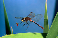 1O05-036p White-faced Meadowhawk Dragonfly Male in flight catching mosquito prey - Sympetrum obtrusum.