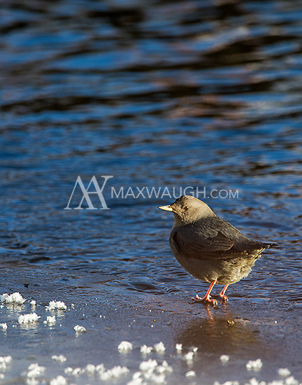 The American dipper is commonly seen along the Lamar River during winter.