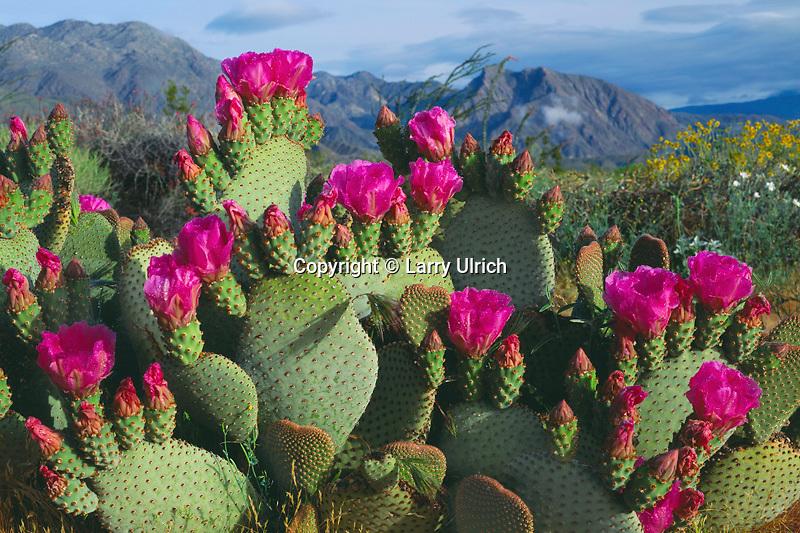 Beavertail cactus<br /> Yaqui Meadows, Glorieta Canyon, Santa Ynez Mountains  Anza-Borrego Desert State Park<br /> Sonoran Desert, San Diego County, California