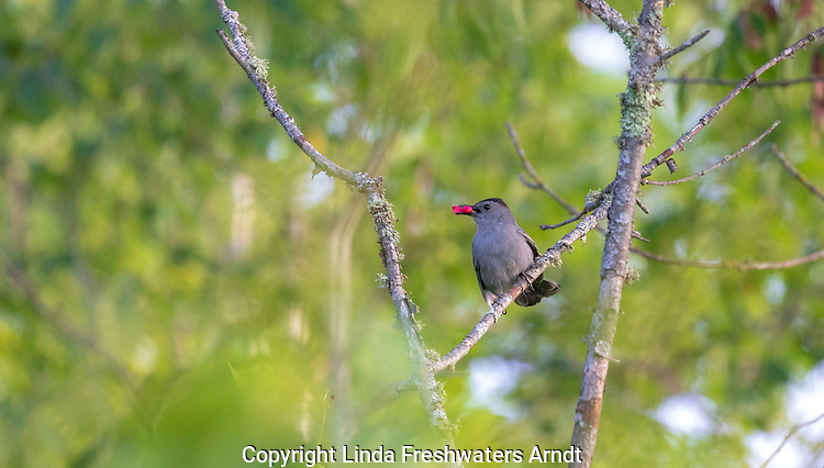 Gray catbird holding two Juneberries (serviceberries) in the woodland of northern Wisconsin.