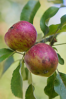 Europe/France/Normandie/Basse-Normandie/50/Batenton: Maison de la Pomme et de la Poire  - Dans le verger  - Pommes à Cidre:  Variété Crollon  - Verger Conservatoire de Barenton  // France, Manche, Batenton, House of the Apple and Pear, in the orchard Apples Cider Cultivar Miclard, Orchard Conservatory Barenton