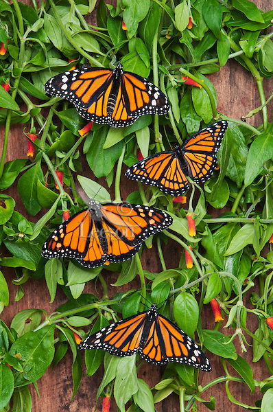 Viceroy (Limenitis archippus) (on top) & Monarch (Danaus plexippus) butterflies bask on candy corn vines (Manettia inflata), summer, North America.  Viceroy is Mullerian mimic: looks like Monarch & both distasteful to predators.