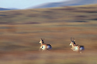 MY247  Pronghorn Antelope running (fastest land mammal in North America).  National Bison Range, Montana.  Fall.