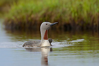 Newly hatched Red-throated Loon (Gavia stellata) on its first foray into the water with the adult female. Yukon Delta National Wildlife Refuge, Alaska. July.