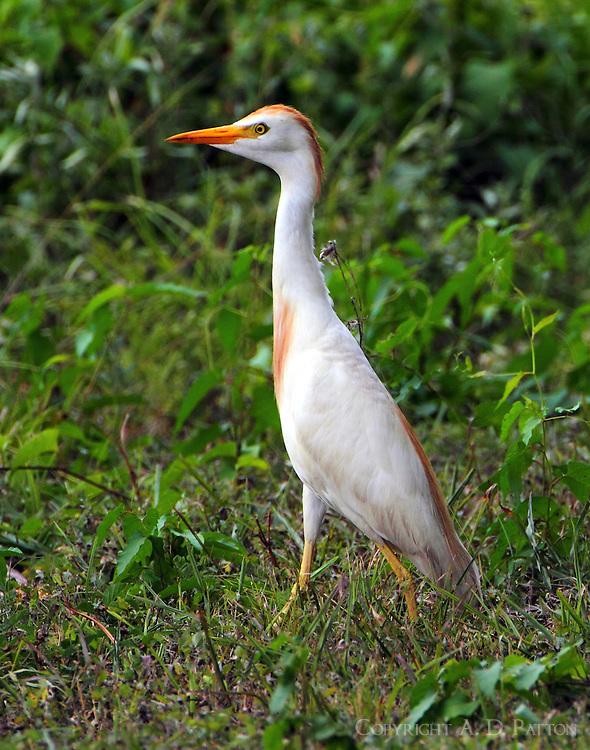 Adult cattle egret in breeding plumage in mid-July