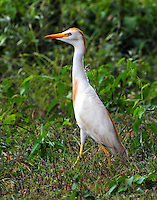 Adult cattle egret in breeding plumage in mid-July