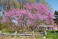 Rosebud blossoms at Canatara Park, Sarnia