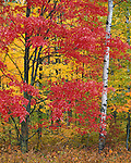 St Croix National Scenic Riverway, WI <br /> Hardwood forest with a brilliant red maple tree in fall color