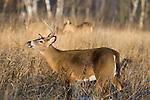 White-tailed buck performing flehmen