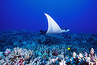 Manta Ray (Manta birostris) flys above a coral reef, underwater off the Kona coast of the Big Island of Hawaii, USA.