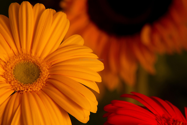 Daisies and Sunflower