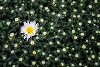Close up of Mum flowers.
