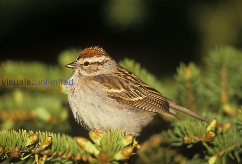 Chipping Sparrow ,Spizella passerina,, North America.