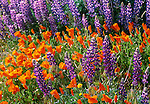 Poppies and lupine, Central coast, California
