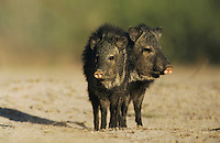 Collared Peccary, Javelina, Tayassu tajacu, adults, Starr County, Rio Grande Valley, Texas, USA, May 2002