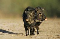 Collared Peccary, Javelina, Tayassu tajacu, adults, Starr County, Rio Grande Valley, Texas, USA, May 2002