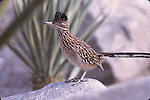 Photo Magnet Edit:  Roadrunner